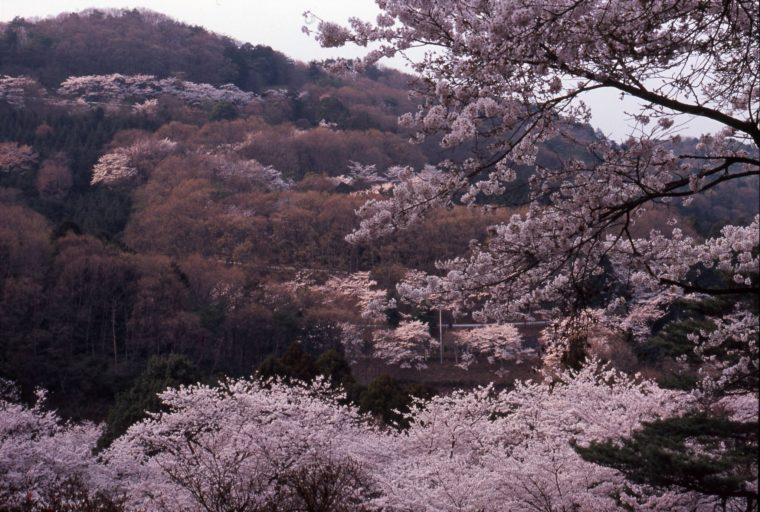 ohira-sakura_01