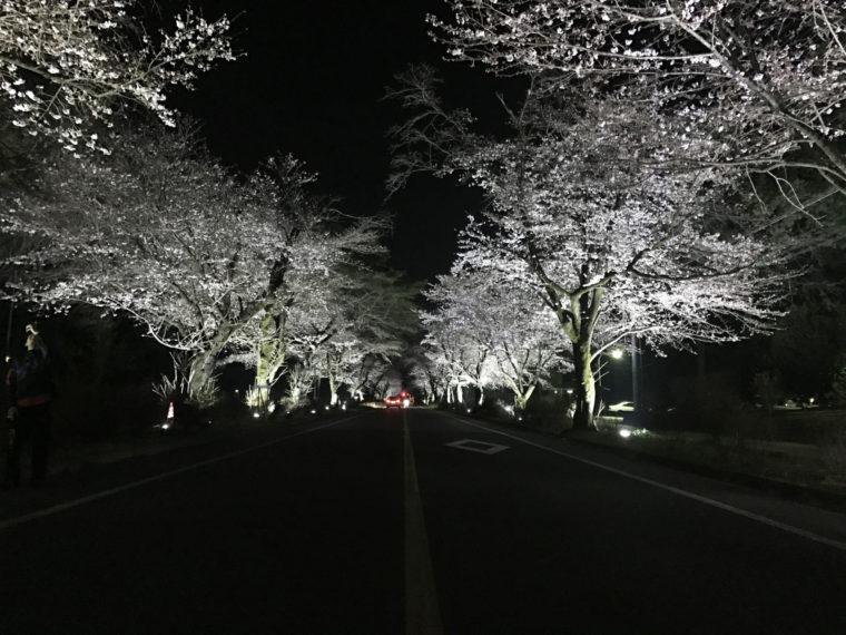 ohira-sakura_02
