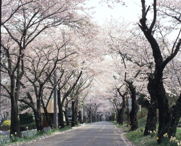 ohira-sakura_03