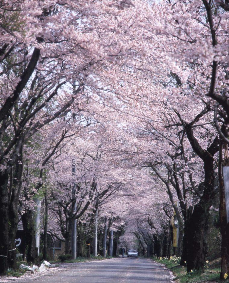 ohira-sakura_04