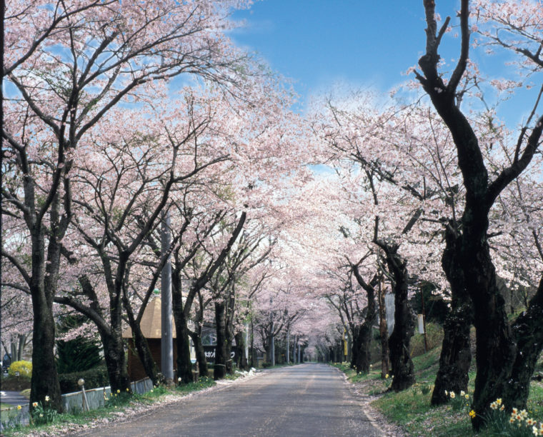 sakura_tunnel