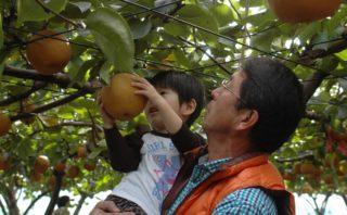 梨狩りを楽しむ